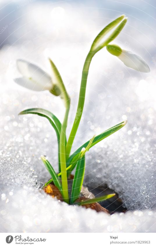 Spring snowdrop flowers Beautiful Life Winter Snow Garden Environment Nature Plant Drops of water Beautiful weather Flower Grass Leaf Blossom Park Meadow Forest