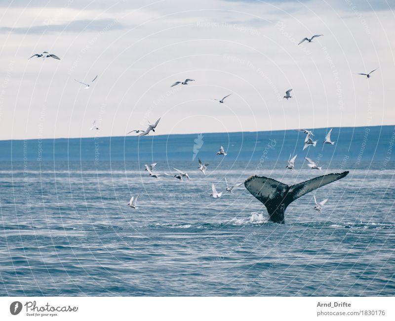 fluke Trip Adventure Far-off places Freedom Cruise Safari Expedition Nature Landscape Water Sky Waves Coast Ocean Animal Wild animal Whale Gull birds