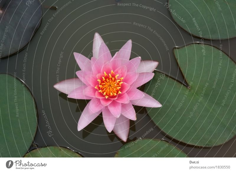 nymphéa Nature Plant Water Flower Leaf Blossom Pond Lake Beautiful Natural Pink Idyll Pure Symmetry Water lily Perfect Colour photo Exterior shot Close-up