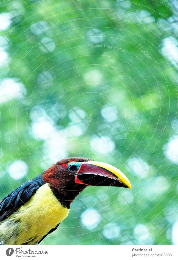 Green Aracari Zoo Environment Animal Summer Wild animal Bird Animal face Wing Pteroglossus viridis Tucans Exotic Multicoloured Lens flare Animal portrait Beak