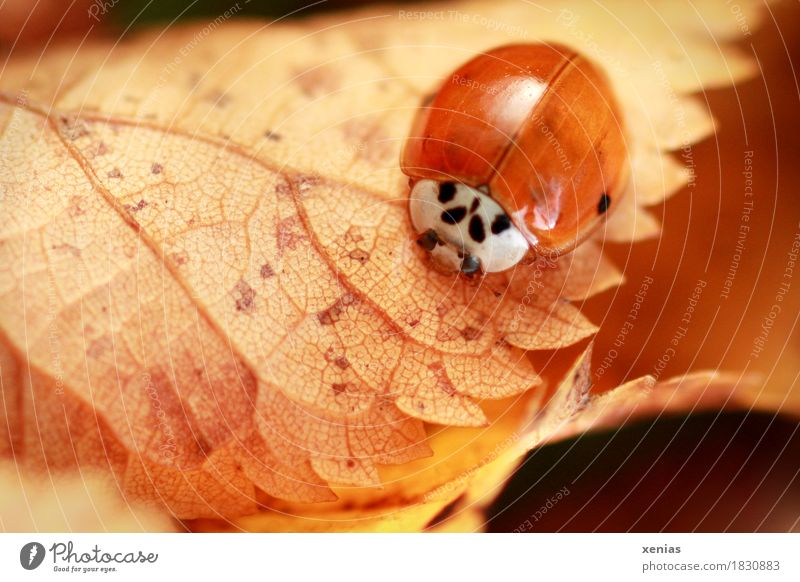 Ladybird in autumn on yellow leaf Leaf Autumn Beetle Grand piano 1 Animal Brown Red Happy Animal portrait Teeth Nature Macro (Extreme close-up) xenias Crawl