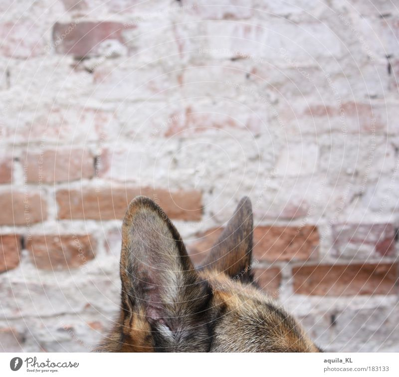 eavesdropping attack Colour photo Exterior shot Deserted Copy Space top Deep depth of field Animal Pet Dog Listening Surveillance Monitoring Ear Pelt