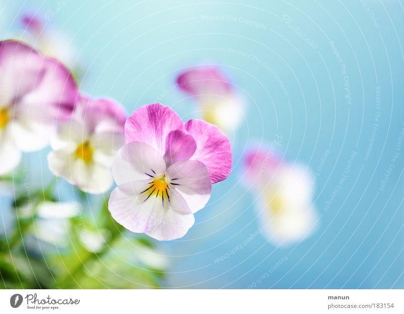 Nature Blue Plant Beautiful Flower Spring Blossom Style Bright Pink Design Fresh Happiness Creativity Friendliness Kitsch