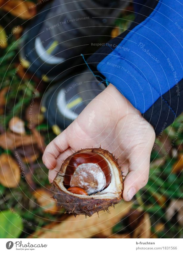 chestnut Hiking Boy (child) 3 - 8 years Child Infancy Autumn Stand Chestnut chestnut peel Hand Fingers Woodground Leaf Indicate Collection Find Colour photo