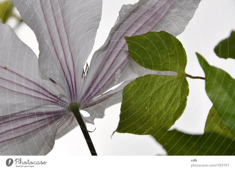 delicate lines Colour photo Exterior shot Detail Deserted Shallow depth of field Environment Nature Plant Spring Summer Flower Leaf Blossom Clematis Park