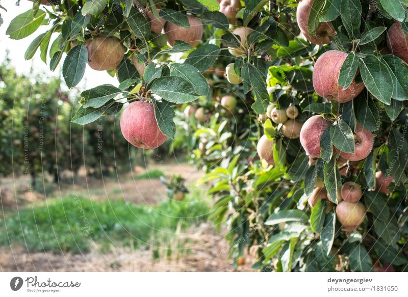 Red apples tree Fruit Apple Garden Gardening Nature Plant Autumn Tree Leaf Growth Fresh Juicy orchard backlight branch Farm agriculture food ripe Harvest