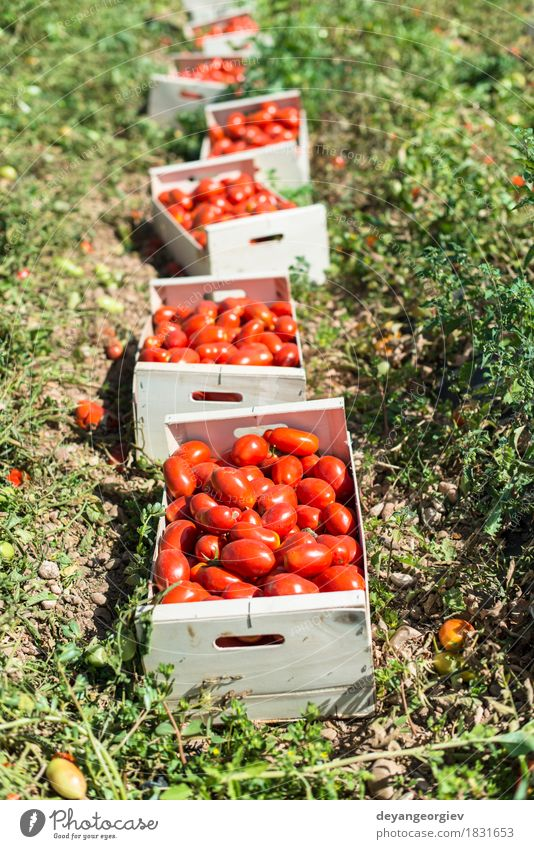 Picked tomatoes in crates Nature Plant Summer Green Red Eating Wood Garden Work and employment Growth Fresh Vegetable Farm Harvest Farmer Tomato