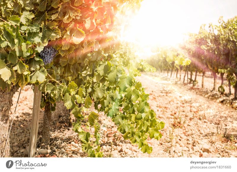 Vineyards on sunset. Vacation & Travel Summer Sun Nature Landscape Plant Autumn Growth Hot Bright Red Sunset Ray Winery Farm agriculture field Bunch of grapes