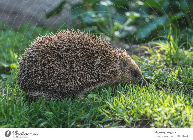 Hedgehog Summer Garden Nature Plant Animal Grass Forest Small Natural Thorny Wild Brown Green Lawn Mammal wildlife spiny Bristles defense needle Snout Seasons