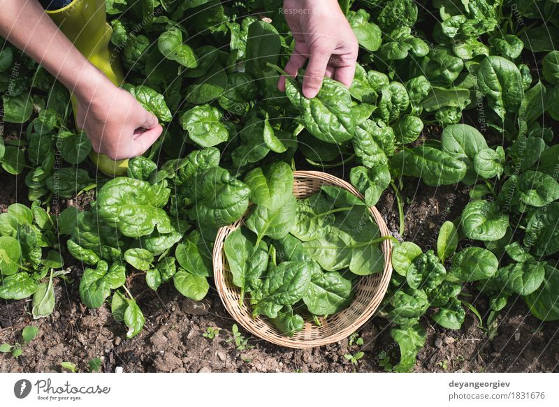Picking spinach in a home garden Vegetable Garden Gardening Hand Nature Landscape Plant Leaf Growth Fresh Natural Green Spinach Organic picking Farm healthy