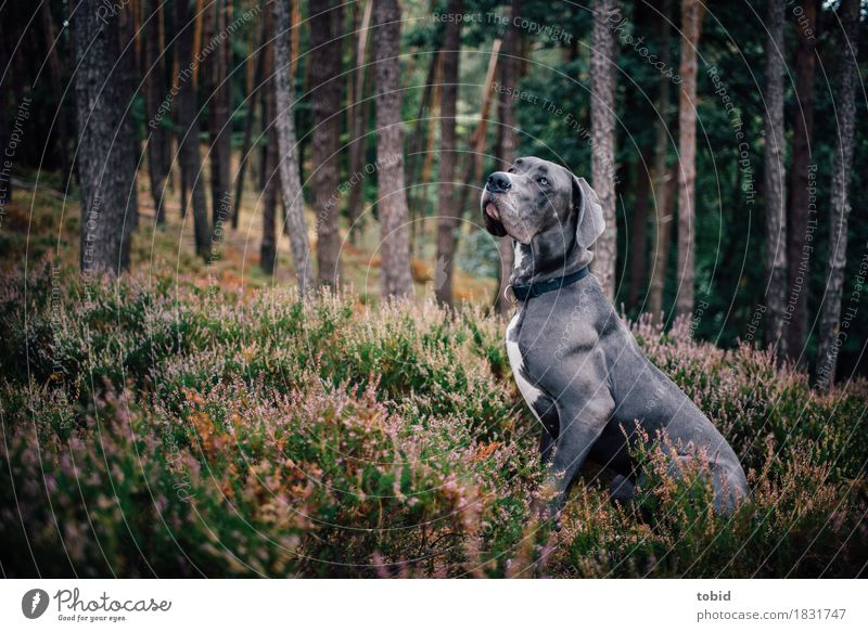 Master floppy ear Pt.8 Nature Landscape Plant Tree Grass Bushes Forest Hill Animal Pet Dog 1 Observe Sit Wait Esthetic Athletic Idyll Great Dane Gray Obedient