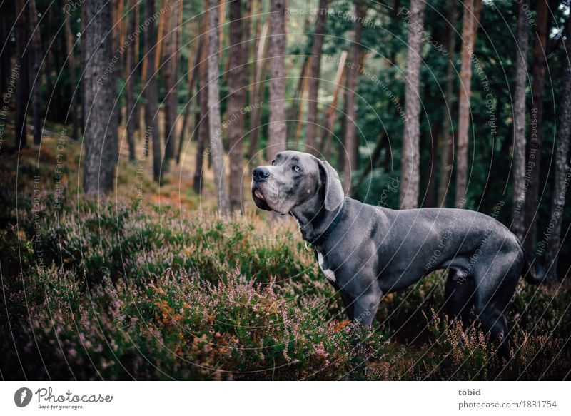 Master floppy ear Pt.9 Nature Landscape Plant Tree Grass Bushes Moss Forest Hill Pet Dog 1 Animal Observe Looking Stand Athletic Great Dane Gray