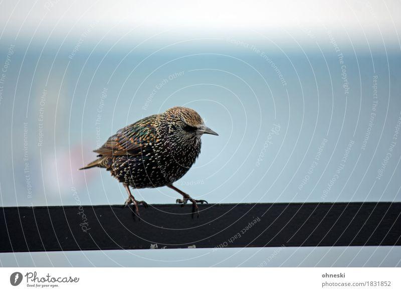Animal Bird Wild animal Fat Songbirds Starling