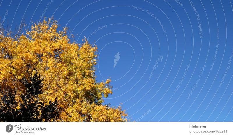 Yellow Autumn Tree Sky Nature Blue Beautiful Tree Colour Leaf Environment Yellow Autumn Park Natural