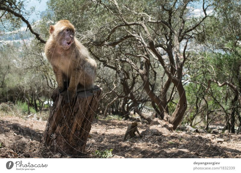 Barbary macaque monkey Woman Adults Man Nature Animal Rock Cute Wild barbary Apes Monkeys Gibraltar primate wildlife macaca young Mammal macaques Living thing