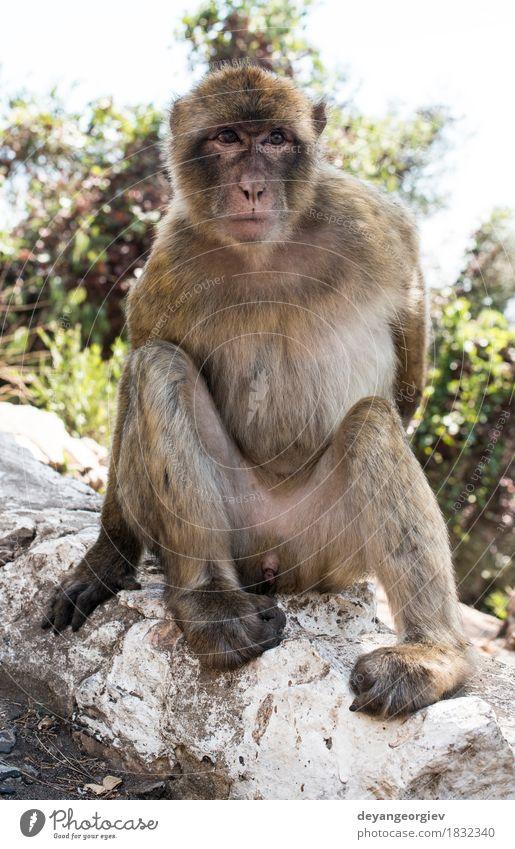 Barbary macaque monkey Woman Nature Man Animal Adults Rock Wild Europe Cute Living thing Mammal Single Monkeys Apes Gibraltar