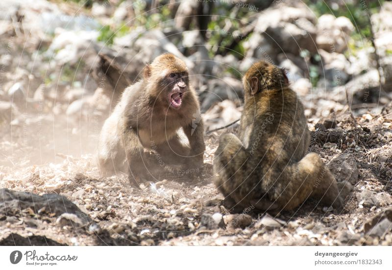 Barbary macaques who fight Happy Playing Nature Animal Earth Tree Forest Virgin forest Small Funny Cute Wild Monkeys Boxing wildlife primate Squirrel Mammal