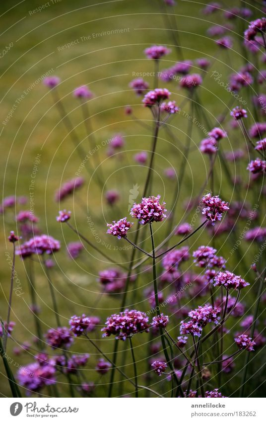 autumn lights Environment Nature Plant Grass Blossom Stalk Park Meadow Green Violet Flowerbed Smooth Dark Sombre mood Contrast Bouquet Pick Growth Beautiful