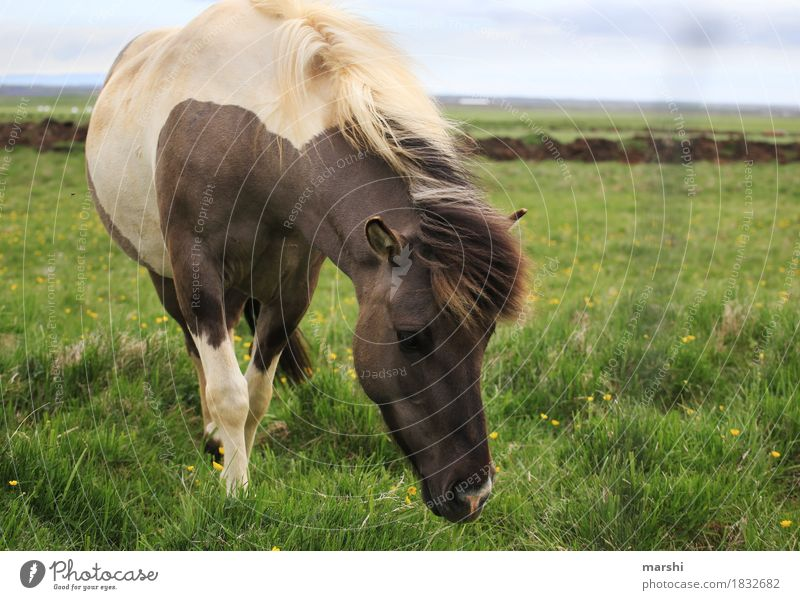 Icelanders Nature Landscape Meadow Field Animal Farm animal Wild animal Horse Animal face 1 Moody Ride Travel photography Iceland Pony Bangs Love of nature