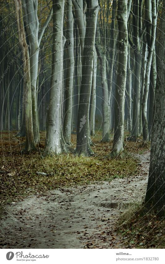 Beeches in the ghost forest Nienhagen Beech tree Beech wood Forest Ghost forest Nature reserve Creepy Footpath Puddle Dark Rain Colour photo Exterior shot