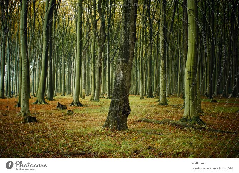 Ghost forest Nienhagen with beeches Forest Beech wood beech tribes Deciduous forest Nature Autumnal Colour photo Exterior shot