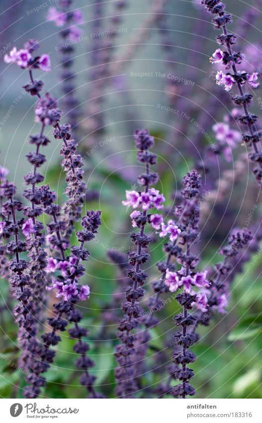 Nature Flower Green Blue Plant Herbs and spices Blossom Park Healthy Blur Bushes Violet Natural To enjoy Colour Detail