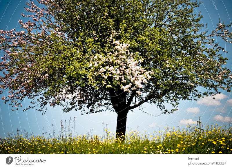 Nature Beautiful Sky White Tree Flower Green Blue Plant Summer Clouds Yellow Life Fruit trees Meadow