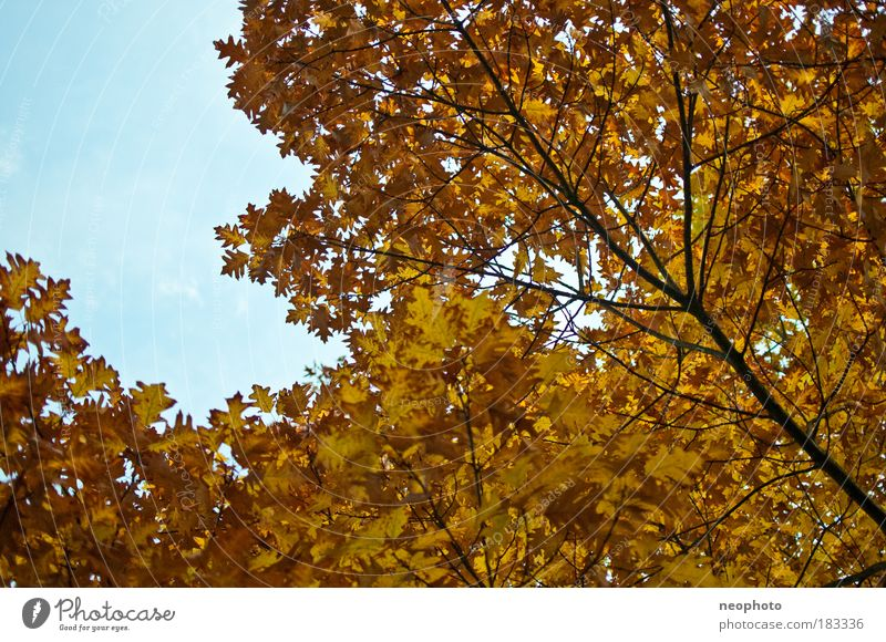 Nature Beautiful Old Sky Tree Blue Plant Leaf Yellow Forest Autumn Park Warmth Brown Dance Weather