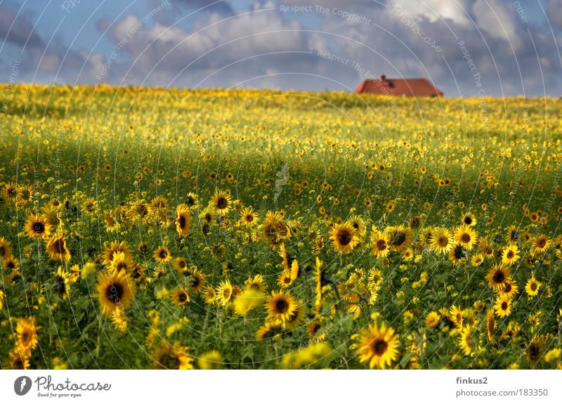 Sunflowerfields for ever Colour photo Multicoloured Exterior shot Deserted Day Light Shadow Sunlight Blur Shallow depth of field Long shot Landscape Plant