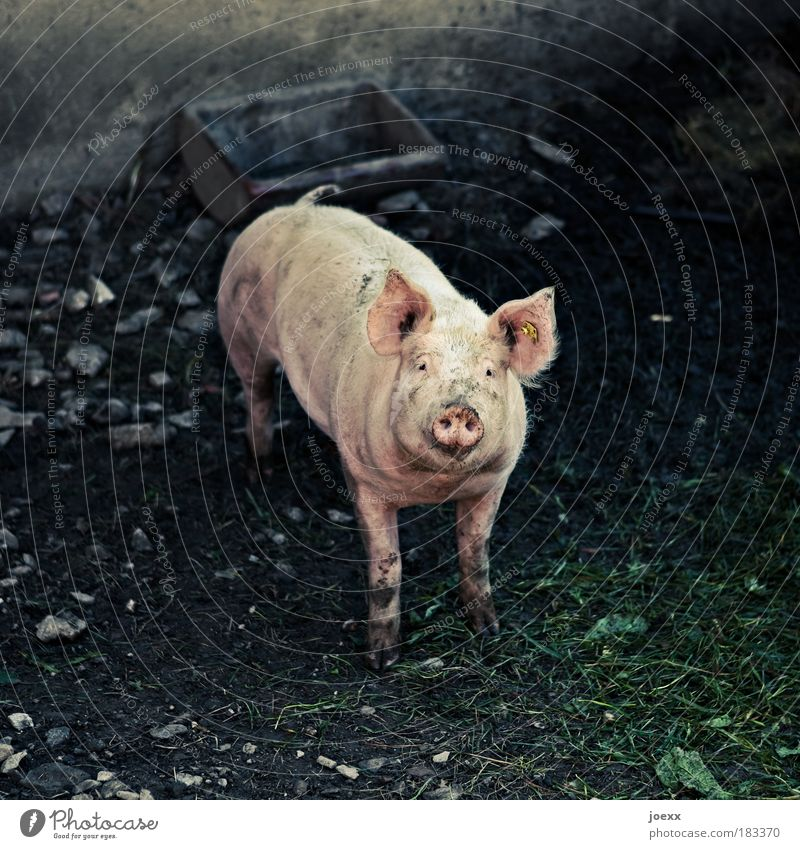 Swine Animal Loneliness Emotions Sadness Think Fear Pink Dirty Containers and vessels Farm animal Love of animals Barn Enclosure Compassion Head