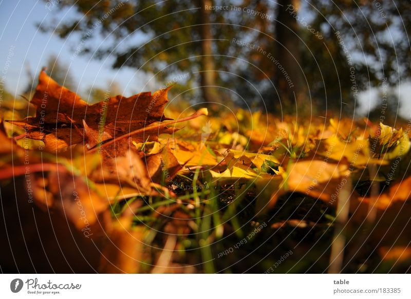 floor posture Colour photo Close-up Worm's-eye view Environment Nature Landscape Plant Autumn Beautiful weather Tree Grass Leaf Maple leaf Meadow Lie Stand