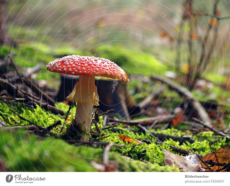 Beautiful poisonous mushroom Amanita mushroom Poisonous plant Touchwood Mushroom flying devil Forest Darling of fortune Leaf muscaria Good luck charm Gill fungi
