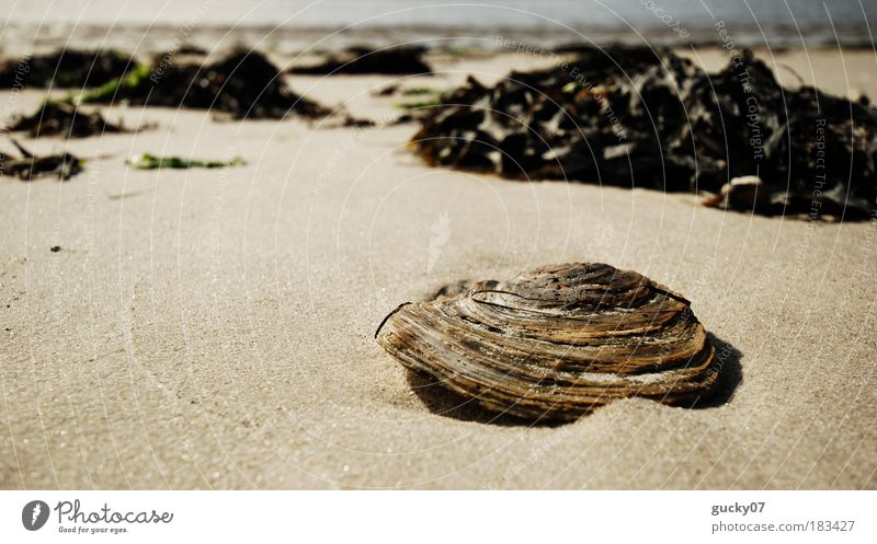 Lonely Mussel Colour photo Exterior shot Deserted Copy Space left Day Light Wide angle Mussel shell Summer Summer vacation Beach Ocean Island Amrum Nature Sand