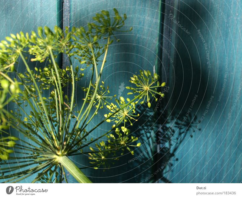 Holde umbel Nature Plant Blossom Agricultural crop Blue Yellow Green Dill Dill blossom kitchen spice Apiaceae Turquoise Panels Wooden wall Stalk Gardening