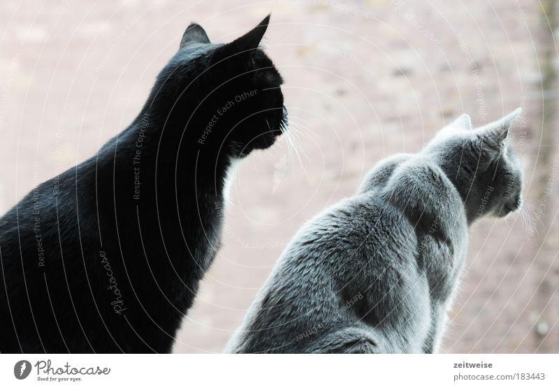 Black Animal Gray Cat Together Wait Sit Observe Pelt Curiosity Cute Pet Whisker 2 Cat's ears