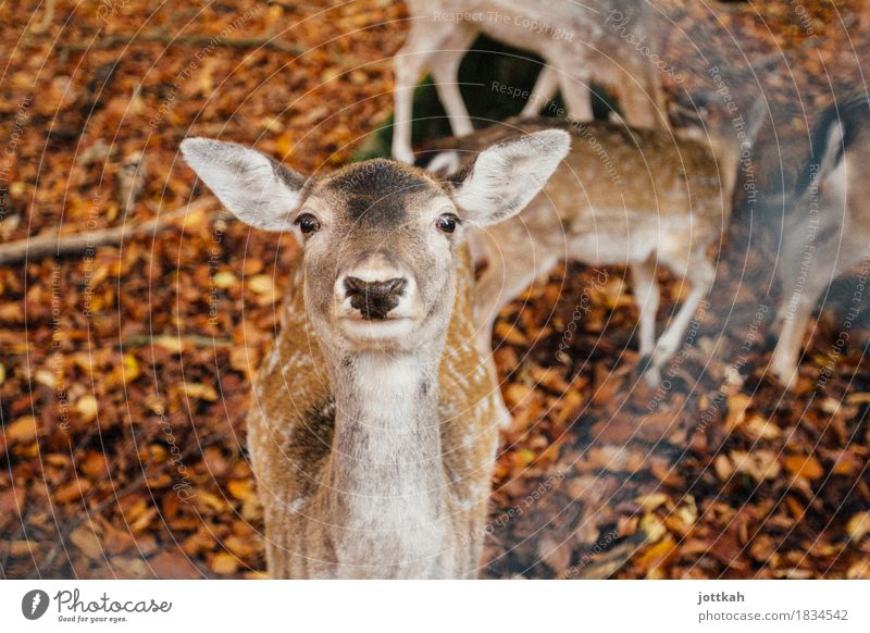 Deer looks curiously into the camera with erect ears Environment Nature Autumn Animal Wild animal Animal face Pelt Zoo Roe deer Fallow deer 1 Group of animals