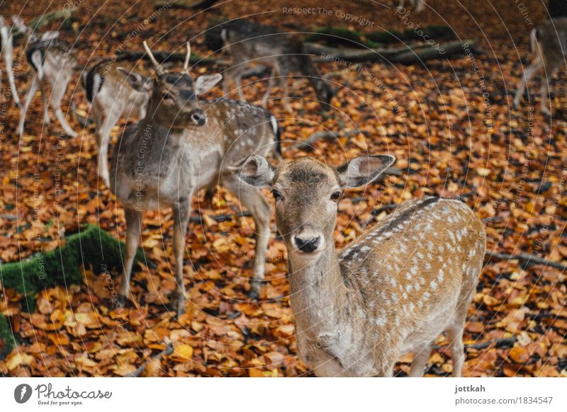 roe deer Nature Autumn Animal Wild animal Animal face Pelt Zoo Roe deer Doe eyes Fallow deer 4 Group of animals Pack Animal family Stand Natural Curiosity Cute