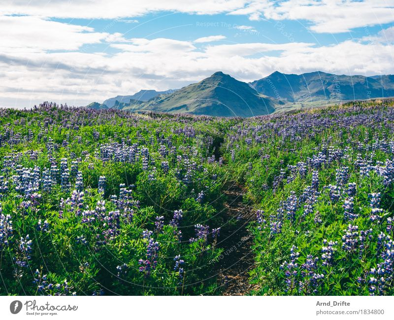 Iceland - Lupines Vacation & Travel Tourism Trip Adventure Far-off places Summer Island Nature Landscape Plant Earth Sky Clouds Beautiful weather Bushes