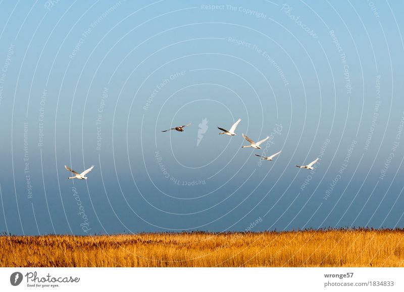 wave flight Nature Sky Horizon Marsh grass Common Reed Coast Baltic Sea Boddenlandscape NP Animal Wild animal Bird Swan Group of animals Flock Flying Esthetic