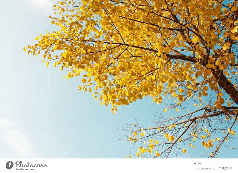 Nature Old Sky Tree Plant Leaf Autumn Environment Gold Time Esthetic Seasons Beautiful weather Blue sky Autumn leaves