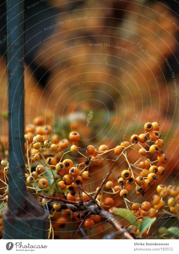 Berries of the firethorn in autumn on metal gate Nature Plant Autumn bushes Garden Park Old To hold on hang To dry up Esthetic Small natural Dry Warmth Wild