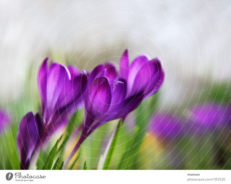 Nature Relaxation Flower Spring Natural Style Park Illuminate Design Elegant Fresh Esthetic Blossoming Beautiful weather Friendliness Violet