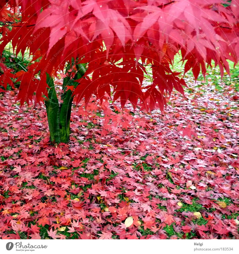 red autumn Colour photo Multicoloured Exterior shot Deserted Day Environment Nature Plant Autumn Beautiful weather Tree Grass Maple tree Maple leaf Leaf Park