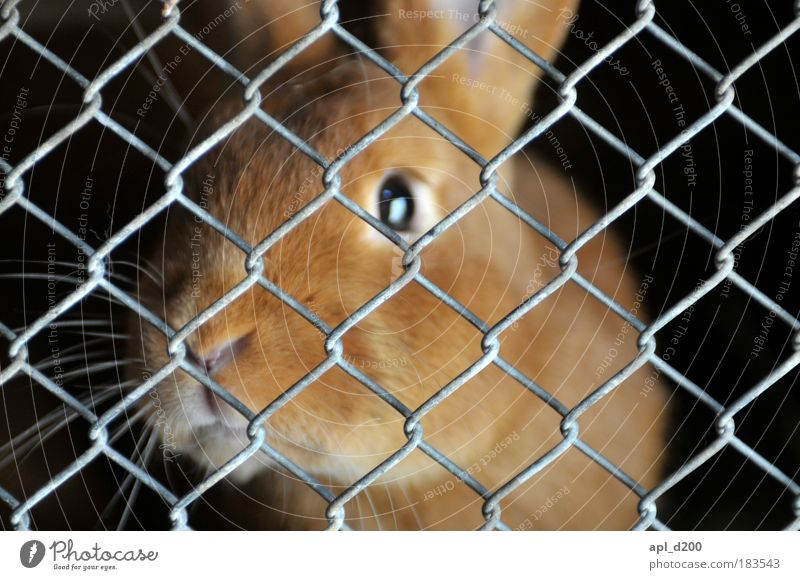 behind bars Animal Pet Farm animal Hare & Rabbit & Bunny 1 Barn Looking Authentic Cute Warmth Soft Gold Black Emotions Safety (feeling of) Grating Mesh grid