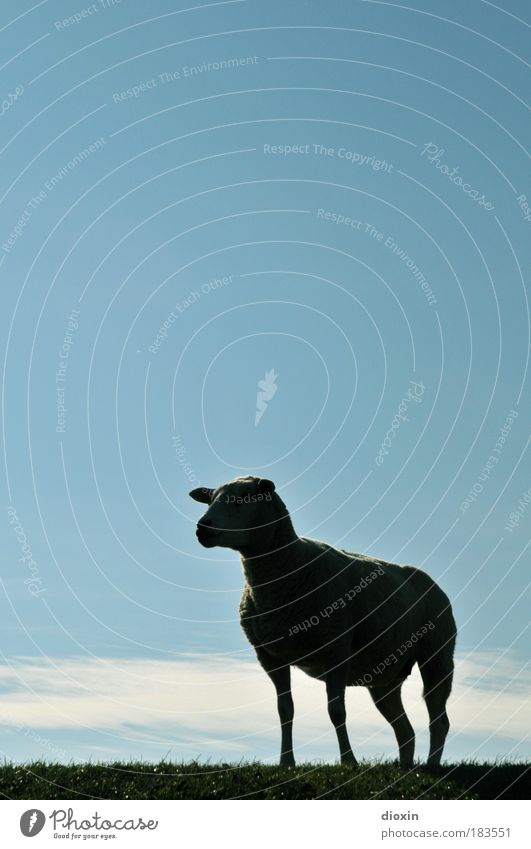 The Genever Sheep Colour photo Exterior shot Deserted Copy Space top Copy Space middle Day Light Contrast Silhouette Animal portrait Forward Sky Clouds Meadow