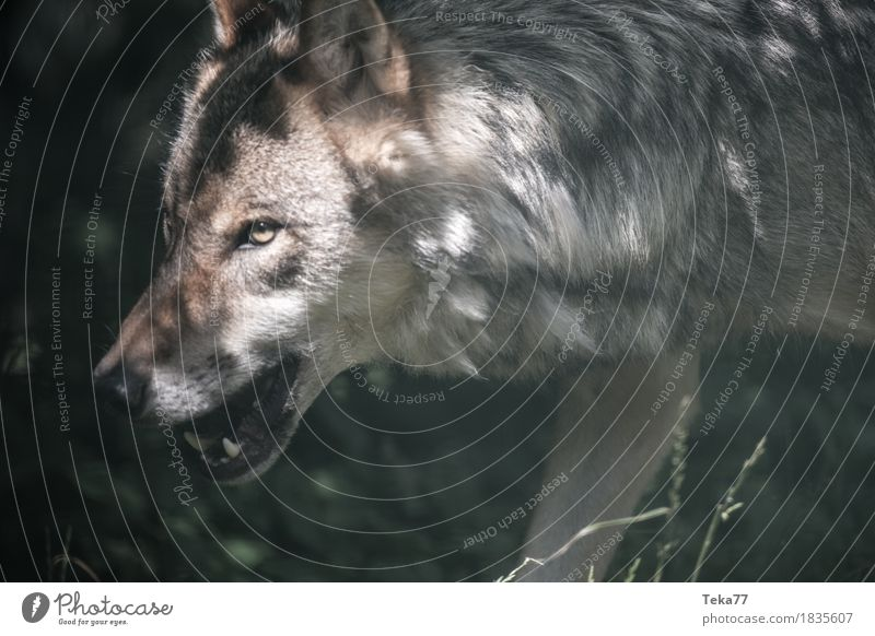 wolf Style Zoo Nature Animal Wild animal Animal face 1 Adventure Aggression Fear Esthetic Wolf Colour photo Deserted Day Forward