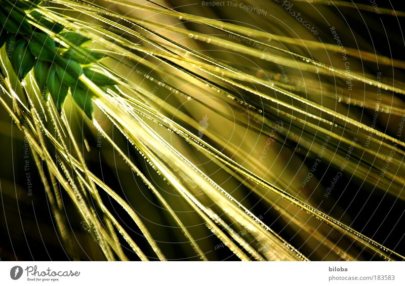 Farmer's gold 2 Colour photo Exterior shot Close-up Experimental Abstract Pattern Structures and shapes Copy Space right Twilight Blur Worm's-eye view