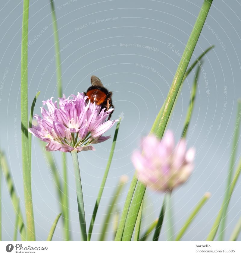 Nature Green Plant Summer Calm Animal Far-off places Dream Pink Esthetic Violet Infinity Bee Fragrance Herbs and spices Beautiful weather