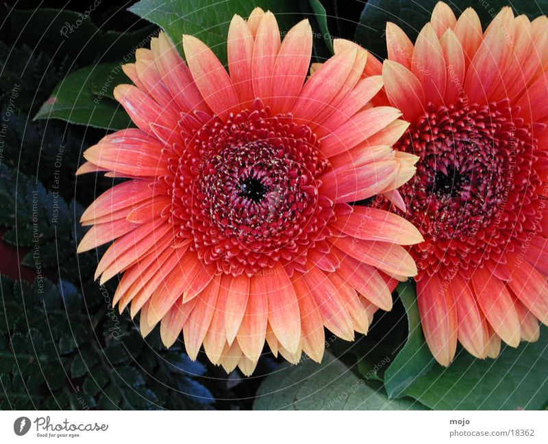 Nature Flower Bouquet Gerbera