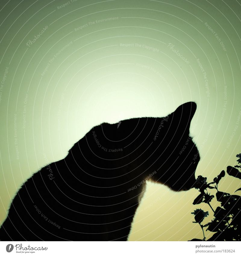 shadow cat Cat Flower Shadow Back-light Black Silhouette Ear Animal Pelt Odor Nature Blossom Nose Snout Structures and shapes